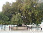 Historical Pipal tree which was going up in the sky by magic of Siddhas and Guru nanak dev ji prevented it to move up.